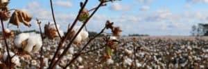 B_Cotton